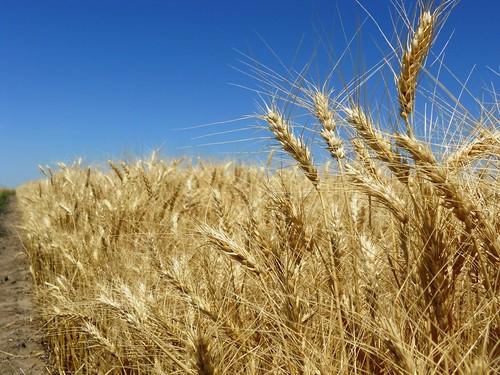 Pretty wheat pic