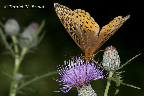 Great Spangled Fritillary by Dan Proud