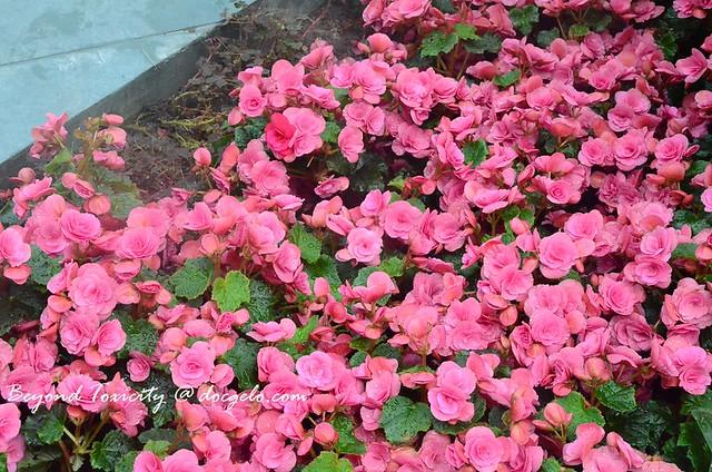 pink petals # 1