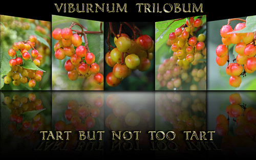 Viburnum Trilobum ~ High Bush Cranberry ~ Explore