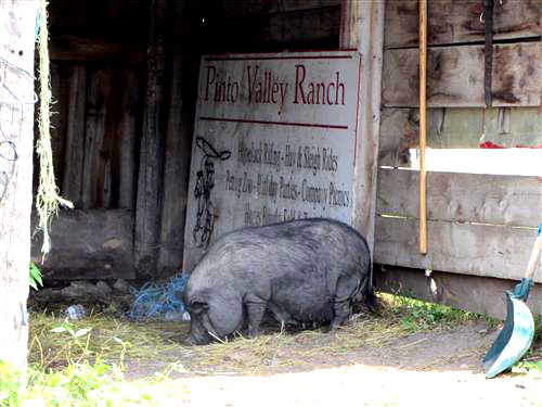 Pigs in the barn at Pinto Valley Ranch