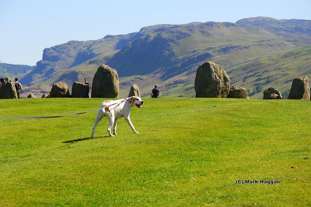 Berta the Harrier Hound explores Castlerigg Stone Circle