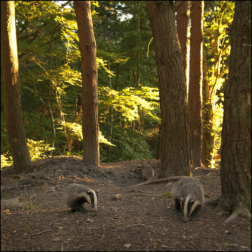 Badger Sett by Ben Locke (Ben909)