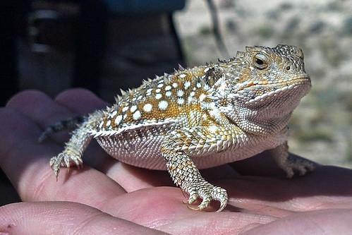 Greater Short-horned Lizard (Phrynosoma hernandesi)