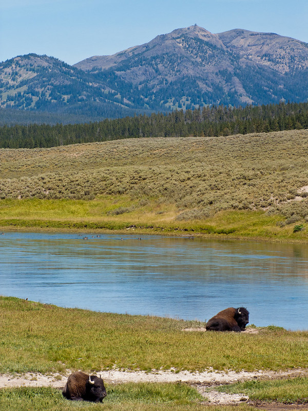 Relaxing bison in Hayden Valley, Yellowstone National Park