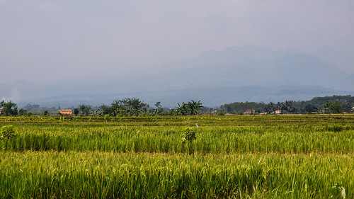 228/366 - Another rice field by Flubie