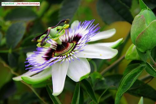 Flor de la pasión #Photography 9