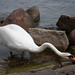 A swan stretching its neck - Copenhagen, Denmark