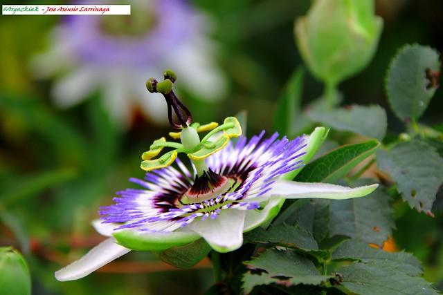 Flor de la pasión #Photography 8