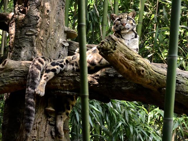 Papa Cloudd Leopard