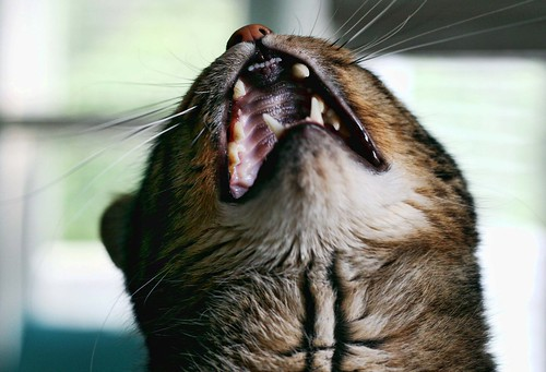 Our tabby Buckley, singing away. ;)