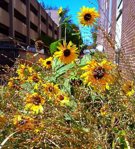 Sunflowers behind Poplars building