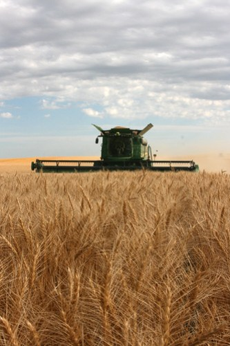 harvesting wheat in Regent