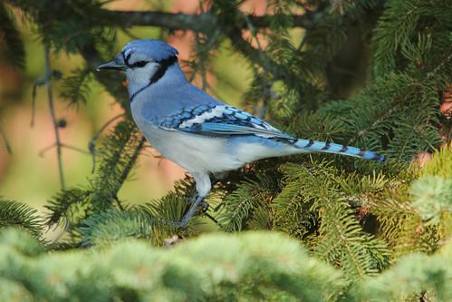 Back yard Blue Jay