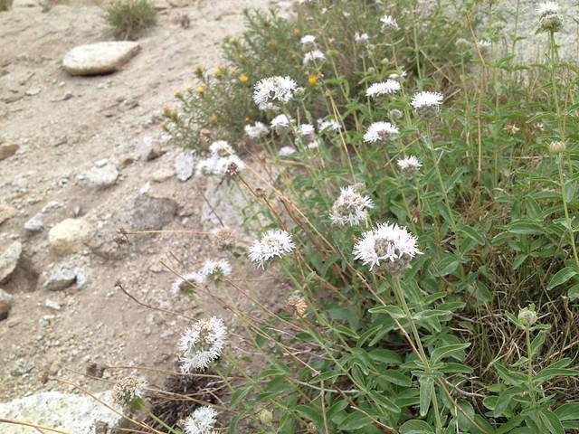 Mountain pennyroyal (Monardella odoratissima, Lamiaceae)