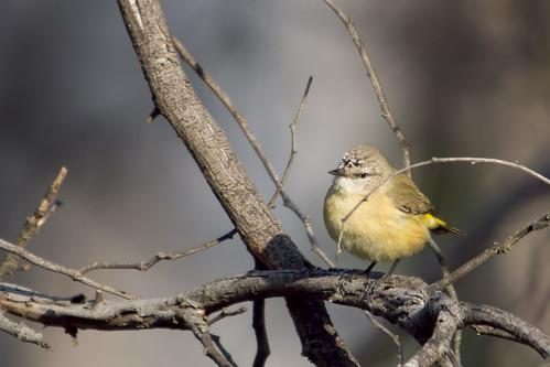 Yellow-rumped Thornbill 2012-09-19 (_MG_4060)