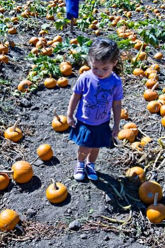 picking sugar pumpkins