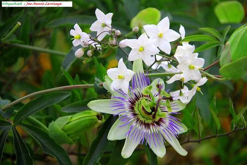 Flor de la pasión #Photography 1