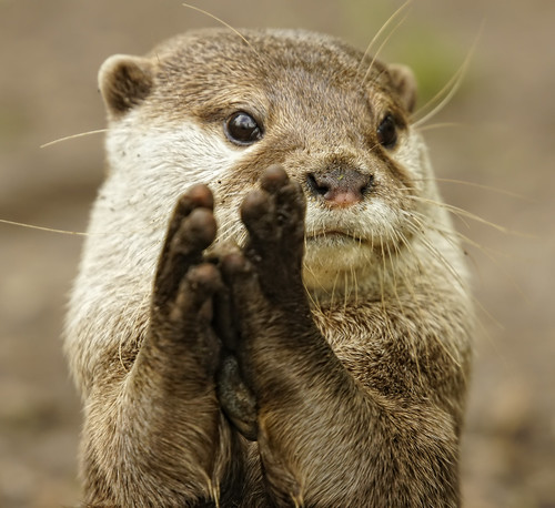 closeup of an otter, holding its paws together as if about to tap his fingers together and say 'eeexcellent'