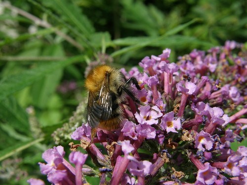 Lovely bumble on buddleia