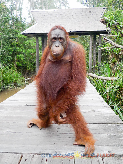 Orangutan World, Tanjung Puting Borneo Adventure-163.jpg
