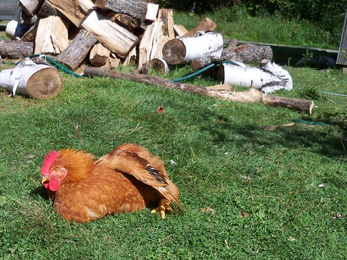 sun bathing chicken