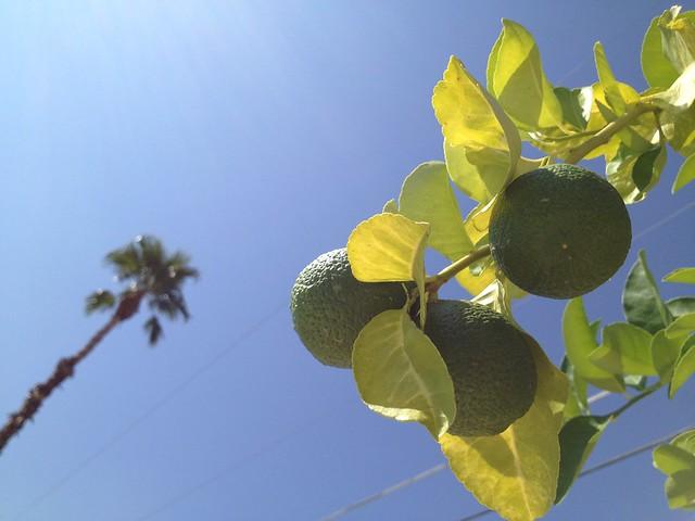 Backyard lemon tree