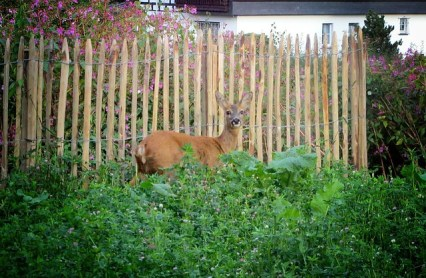 Bambi in the Garden
