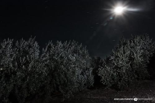 Olivar nocturno