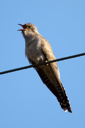 Pallid Cuckoo 2012-10-03 (_MG_5012)
