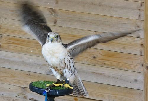 Hybrid falcon