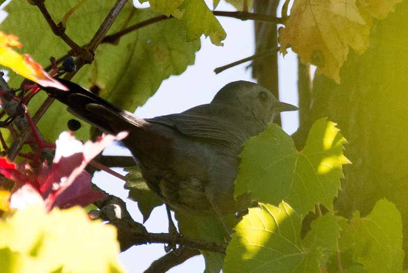 _DSC5087 Grey Catbird