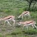 Etosha National Park impressions, Namibia - IMG_3069_CR2_v1