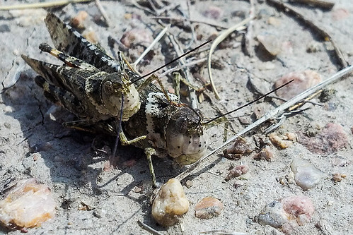 Grasshoppers (Order Orthoptera)