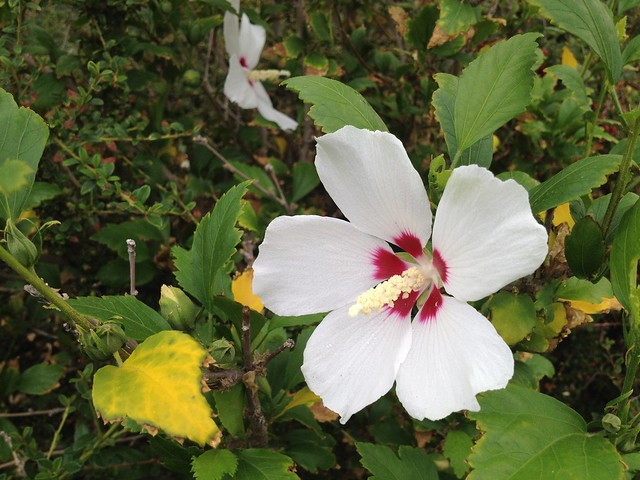 Rose of Sharon (Hibiscus syriacus, Malvaceae)