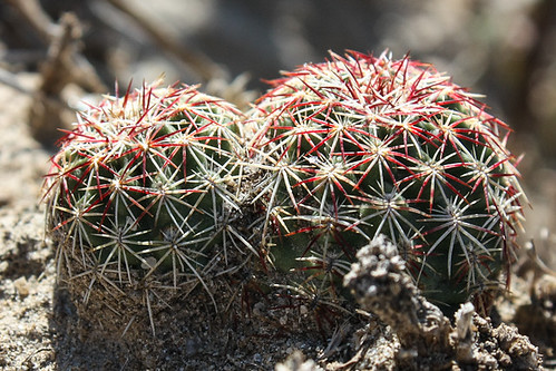 Cactus (Family Cactaceae)