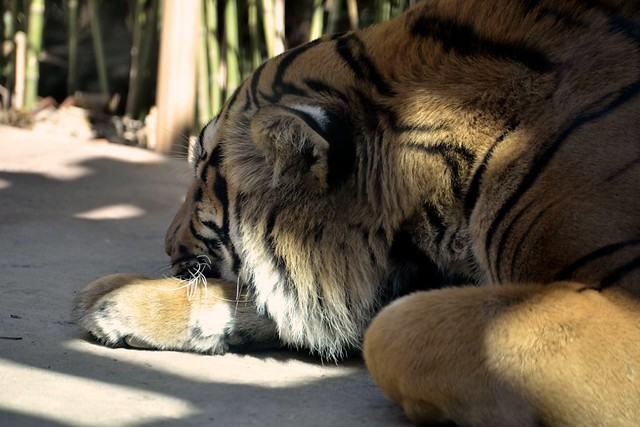 Sleepy Tiger