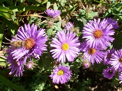Honey bee on New England asters
