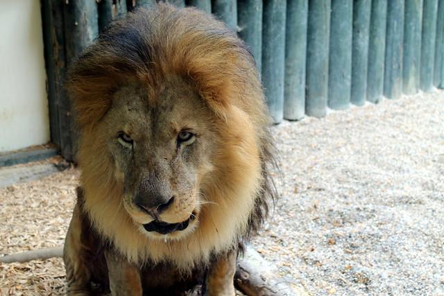 Vomiting Lion