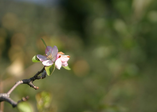 Apple blossom in Autumn