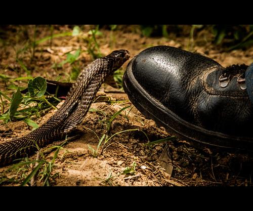 The bite of the Cobra by Rajanna @ Rajanna Photography