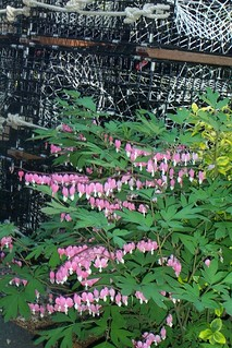 wild growing bleeding hearts