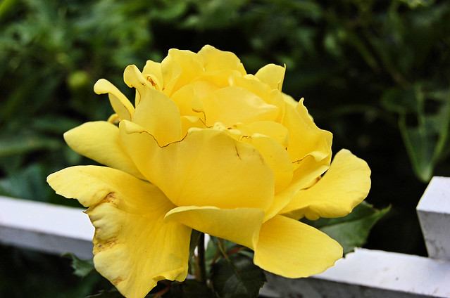 Fall last rose (3)