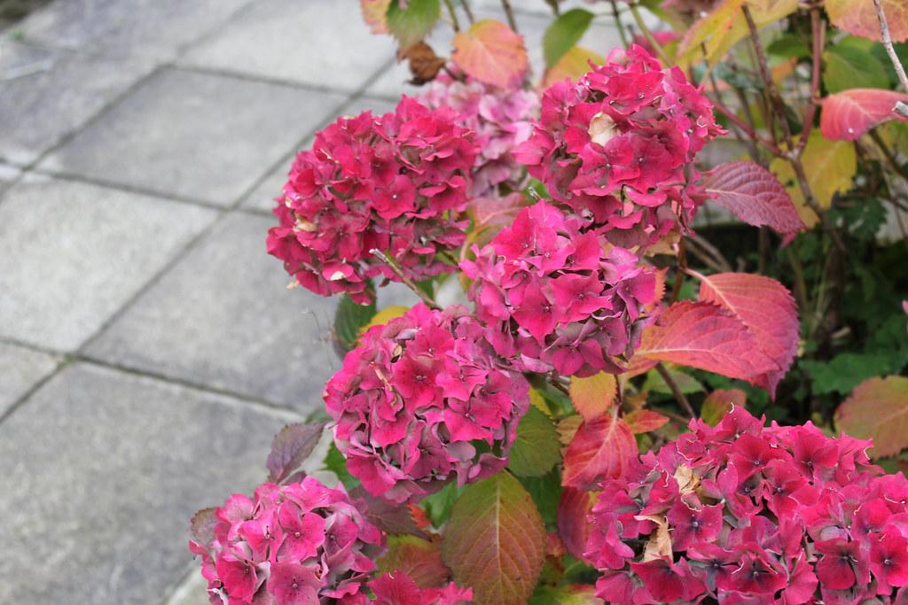Pink hydrangea.