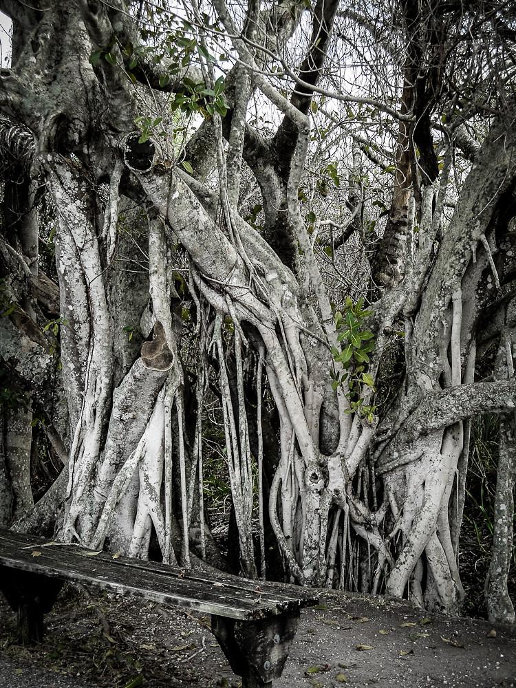 cjane tree gnarl