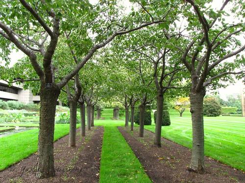 Cherry Trees near Lily Pond
