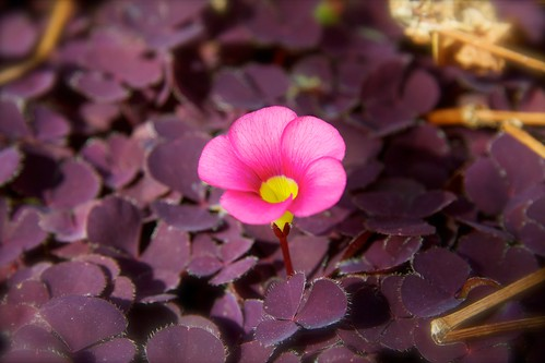 Pink on Purple by J*Phillips