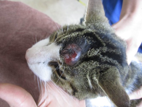 Cyst on cat head