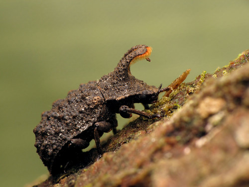 Bolitotherus cornutus (Forked fungus beetle) 4
