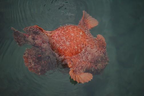 frogfish 3